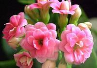 長壽花怎麼種植?