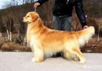 血統純正的金毛和普通的金毛,這兩種金毛的區別是什麼?