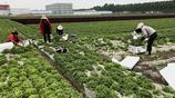 農村大片閒置土地,村民承包種了好吃的蔬菜卻只往大城市賣是為啥