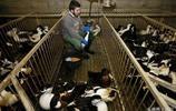 直擊:鵝肝的生產全過程,美味的鵝肝來自最凶殘的酷刑