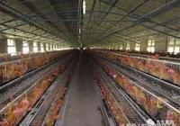你們最害怕的禽流感是什麼樣的?