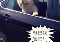 主人假裝要走,把鬆獅留在了車裡,這下鬆獅急了