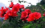 杜鵑花開紅豔豔