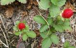 """這種農村地頭常見的""""野草莓"""",關鍵時刻能救人命!"""