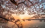 萬人空巷賞櫻花,爛漫櫻花戲遊客