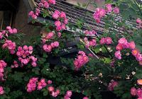 此花號稱是我國天下第一香的爬藤花卉,而且花期超長,不種可惜了