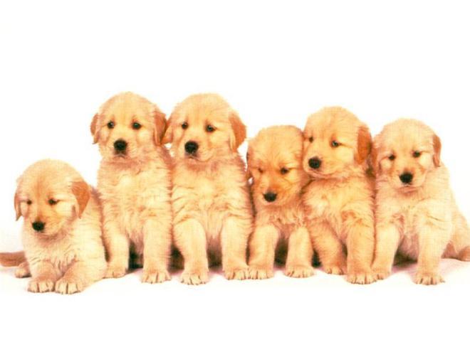 動物圖集:萌萌的小寵犬