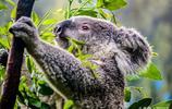 考拉——樹袋熊