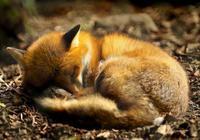 救一狐狸,狐狸報恩,貪美色變狐狸,最後暴亡