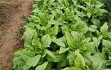 無公害蔬菜