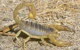 動物圖集:蠍子
