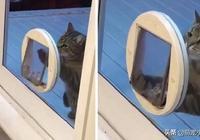 懶得走貓門的虎斑貓假裝太胖淚眼捶門看主人:朕進不去