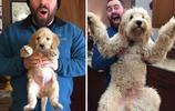 狗耳朵終於成熟了!10張狗狗長大前後的對比照看著真是感慨萬千