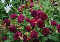 如果你有個院子,咬咬牙拿下這花苗,開花時香味怡人,美如仙境