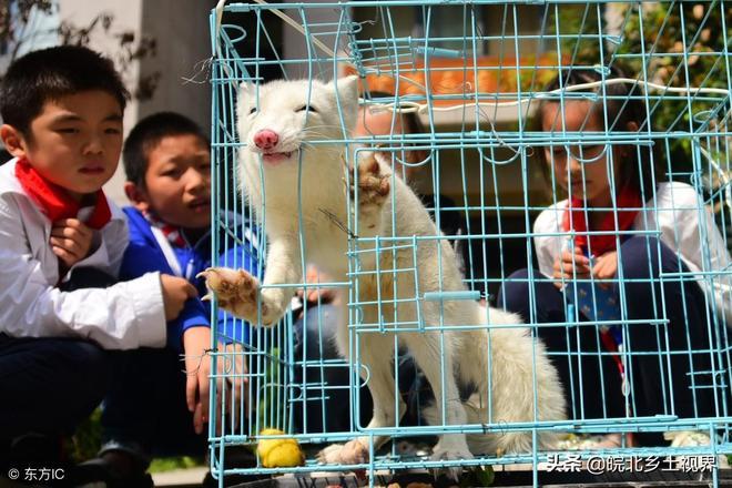 """鄭州男子捕獲一隻偷鴿子白色""""稀罕物"""",專家稱:不能在家中飼養"""