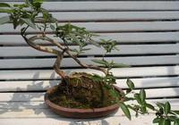 金銀花盆栽的栽培方法和越冬的修剪技巧!
