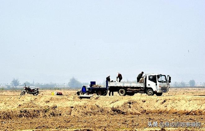 農村老人在黃河灘打工種蓮藕日賺百元,很多人不說真實年齡是為啥