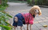 動物圖集:聰明活潑的貴賓犬