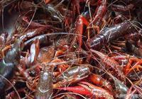 小龍蝦吃什麼食物?