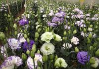 洋桔梗——代表純真的愛,養護簡單,栽種方便,你值得擁有!