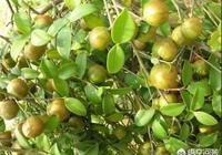 油茶渾身是寶,為什麼種植油茶的人少之又少?