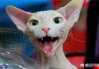 斯芬克斯貓容易貧血嗎?斯芬克斯貓要經常補血嗎?