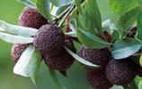 農村有4種野果,洗不乾淨不說還一個比一個貴,你吃過幾種?