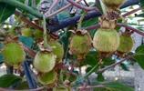 周至獼猴桃為什麼長得又大又好的祕密,你知道嗎