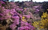 青島杜鵑花進入最佳觀賞期 登山賞花踏青春遊一起辦了