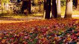 落葉繽紛,秋景迷人,秋景宜人