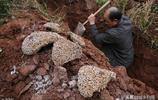 水庫堤壩挖出10米白蟻巢穴,擒獲蟻王蟻后43對,蟻齡最長達30餘年