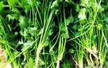 青島地裡剛拔的香菜30塊錢一斤 網友說家有10畝香菜頂上一個礦了