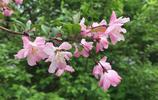 海棠花常見,但是紅成這樣的海棠花可不多見喲