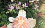 吃桔子會長胖?桔子的多種吃法:田邊火烤桔子,蒸鍋裡蒸桔子