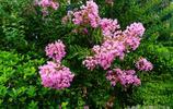 花卉攝影: 紫薇花開