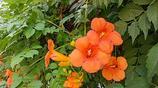 凌霄花除了長得美可用於園藝之外,原來還是一味活血化瘀的良藥